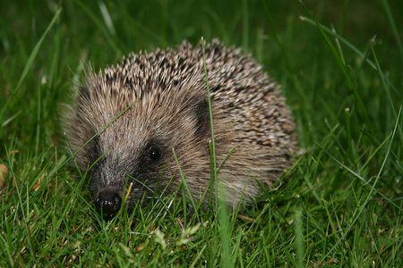 Hedgehog voted number one