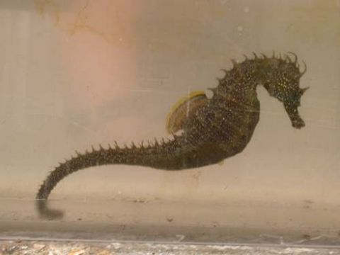Rare seahorse found in Thames